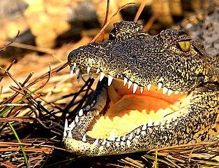 Krokodil im Okavangodelta