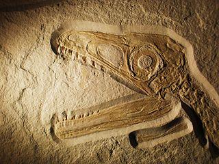 Fossil of Sciurumimus