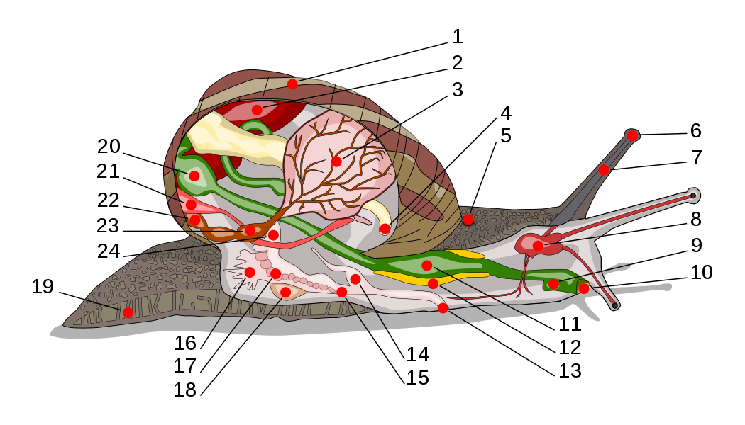 Anatomy of a common snail