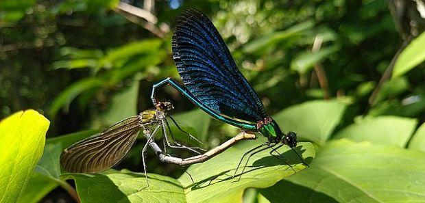 Paarung der Libellen